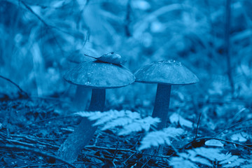 Beautiful picture of a mushroom in the forest in the trendy classic blue color of the year.