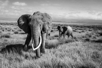 Black and White images of elephants in the wild