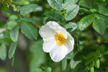 Wall Mural - Rosa rubiginosa. White wild rose flower