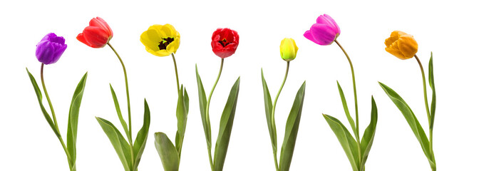 Keuken foto achterwand Tulp Collection of tulip flower on white background.