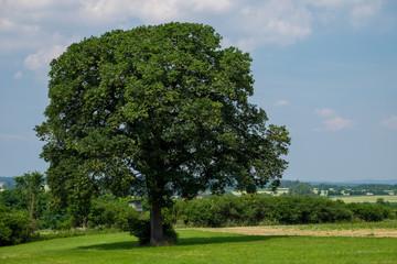 Quercus petraea Traubeneiche bei Eysölden in Bayern Landkreis Roth