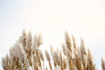 Tuinposter Gras Pampas grass in the sky, Abstract natural background of soft plants Cortaderia selloana moving in the wind. Bright and clear scene of plants similar to feather dusters.