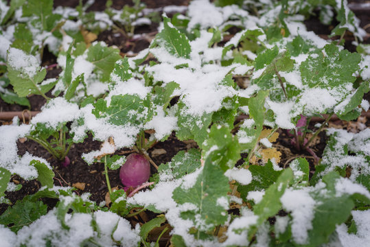 Top view close-up rutabaga plant with purple root large leaves freezing in winter time in Texas, USA