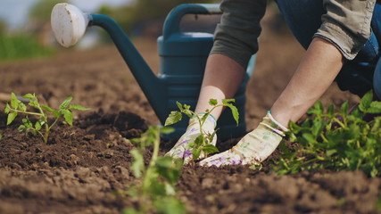 Stores photo Jardin Farmer hands planting to soil tomato seedling in the vegetable garden. On the background a watering can for irrigation. Organic farming and spring gardening concept