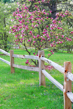 Beautiful sunny day in spring forest nature background. Scenic view with pink color magnolia tree behind wooden fence in forest. Midwest USA, Wisconsin. Vertical composition.