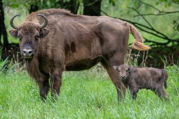 European Bison Wisent Bovinea Animal
