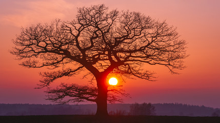Foto auf Leinwand Hochrote Oak tree silhuette with red sunset in the horizon, panorama