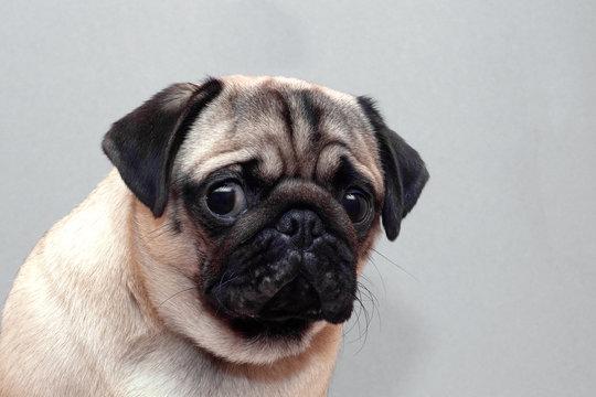 Frightened guilty dog pug looking sad at camera.