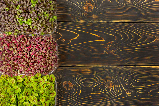 On a dark wooden background - three boxes with microgreens of Red Basil, Sorrel and Amaranth. Copy space. Super food, microgreen growing.