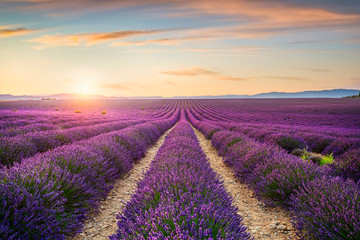 Keuken foto achterwand Lavendel Lavender flowers fields at sunset. Provence, France
