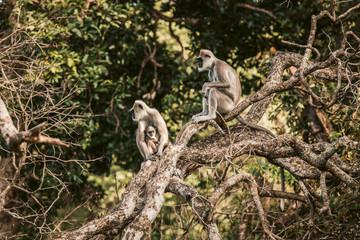 Sri Lanka, Sabaragamuwa Province, Udawalawe, Monkey family sitting together on tree branch