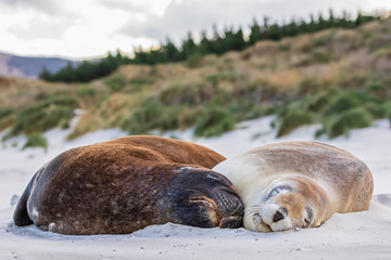New Zealand, Dunedin, Two New Zealand sea lions (Phocarctos hookeri) sleeping together on Allans Beach