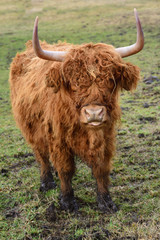A brown hairy highland cattle stands in the swampy area on the meadow and scratches and looks frontally into the camera