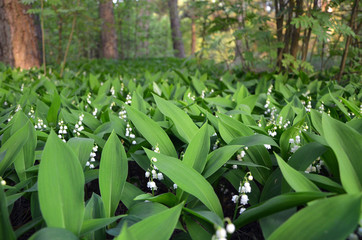 Keuken foto achterwand Lelietje van dalen lilies of the valley beautiful white flowers in the forest