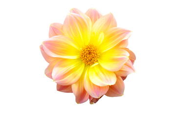 Poster de jardin Dahlia Dahlia flower pink and yellow halftone color blooming pattern in isolate white background with clipping path