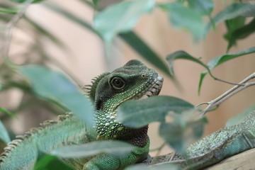 Poster Chameleon Jaszczur