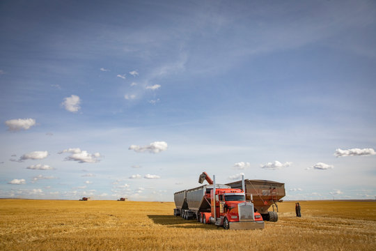 Farmers watching grain auger filling trailer, harvesting crop in sunny field