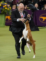 2020 Westminster Kennel Club Dog Show at Madison Square Garden in New York City