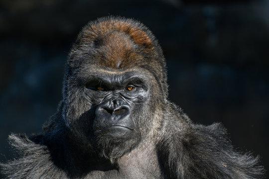western Lowland Gorilla (Gorilla, gorilla, gorilla)