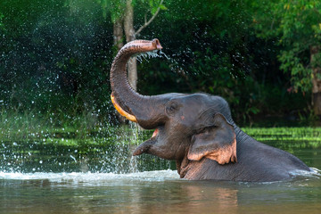 A male Asian elephant is enjoying bathing. Fotomurales