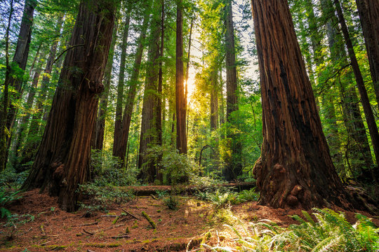 Sunrise in the Redwoods, Redwoods National & State Parks California