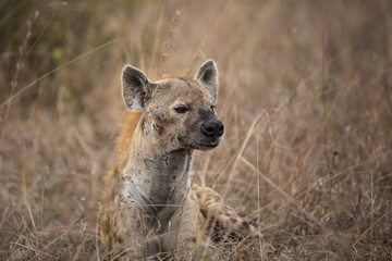 Garden Poster Hyena A spotted hyena, Crocuta crocuta, resting as it waits for lions to finish feeding.