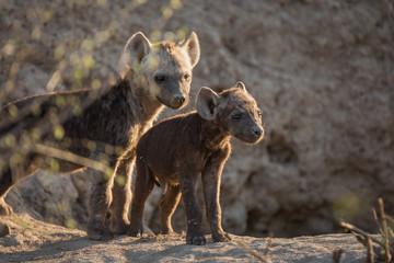 Deurstickers Hyena A pair of hyena pups, Crocuta crocuta, outside their den.