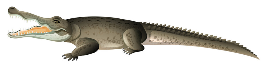 Wild crocodile with sharp teeth on white background