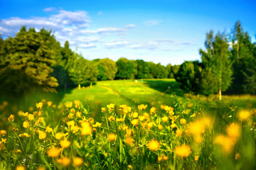 Fototapete - Beautiful pastoral natural spring summer landscape with yellow buttercups on hill of forest glade against blue sky with white clouds on sunny day. Wildflowers and trees in nature outdoor,