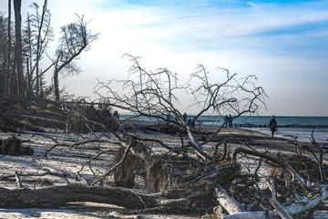Ostseestrand mit umgestürzten Bäumen