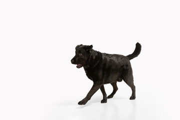 Wall Mural - Businessman. Black labrador retriever having fun. Cute playful dog or purebred pet looks playful, cute isolated on white background. Concept of motion, action, movement, dogs and pets love. Copyspace.