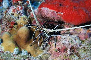 Stripe-leg spiny lobster