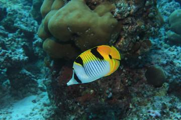 Blackwedged butterflyfish