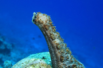 Sea cucumber spawn