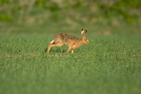 The European hare (Lepus europaeus), also known as the brown hare, is a species of hare native to Europe and parts of Asia.