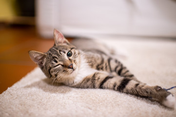 Beautiful and very cute striped pet cat lies and rests on the floor