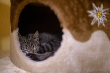 Beautiful and very cute striped pet cat relaxes in his cat house