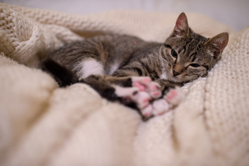 Beautiful and very cute striped pet cat lies and sleeps on the coverlet