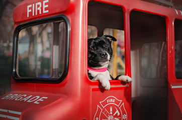 Stores à enrouleur Londres bus rouge staffordshire bull terrier dog lovely portrait walk in the city magic light cute dog