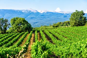 Weinanbau am Mont Ventoux in der Provence