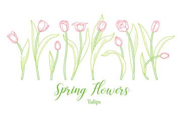 Obraz Vector line art set of tulips, spring flowers. Tulip flower - fototapety do salonu