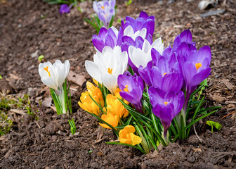 Foto op Canvas Krokussen Mixed hybrid crocus flowering in the early spring garden.