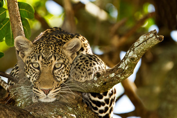 Foto auf Gartenposter Leopard leopard on tree, leopard portrait in the wilderness of Africa