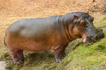 hippo eating grass by a small lake in Colombia