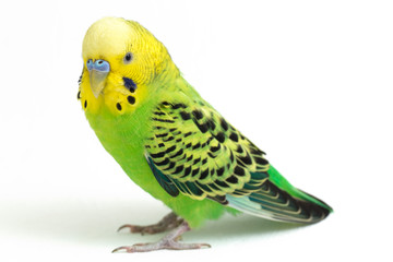 Close up of a Budgerigar parakee isolated on white background Fotomurales