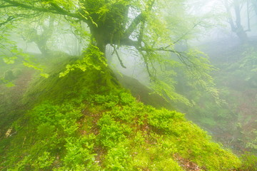 Natural Park of Gorbeia, Basque Country/Spain; May 03, 2014. Belaustegi beech forest in the spring.