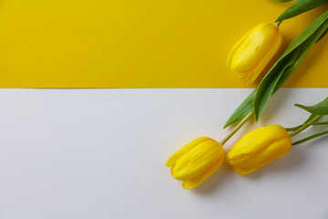 Yellow spring tulips on paper background, flat lay