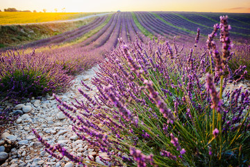 Printed kitchen splashbacks Culture Lavender and sunflower fields in Provence, France