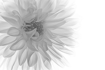 Self adhesive Wall Murals Floral macro of black and white dahlia
