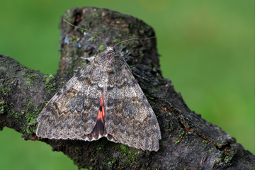 French red underwing - Catocala elocata